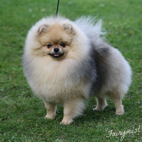 top pomeranian kennel black orange s pomeranian uppf 246