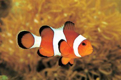 Keset Gambar Ikan ikan badut gosip gambar