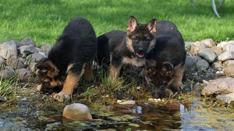 german shepherd puppies for sale in louisiana trained german shepherd puppies for sale ohio hours at what age can you start potty