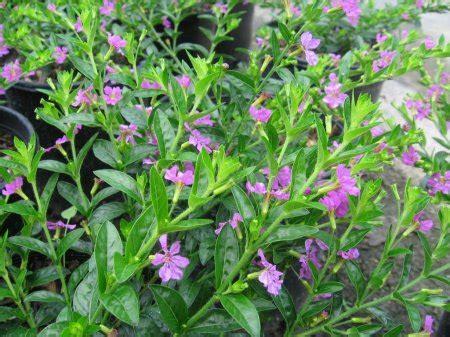 taiwan bunga ungu