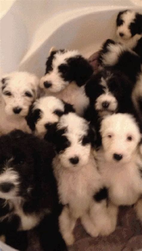 Sheepdog Shedding by Sheepadoodle Puppies The Non Shedding Non Drooling