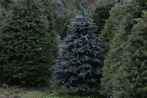 uber s latest christmas tree delivery sfgate blog