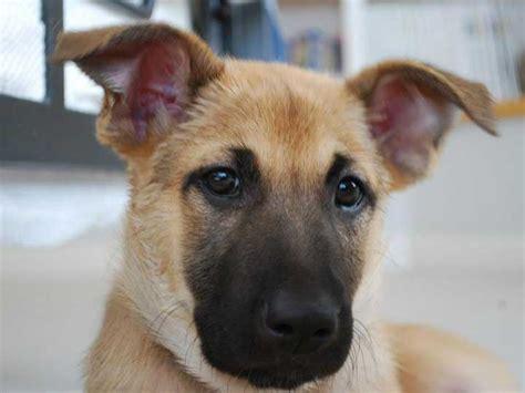 chinook puppy chinook black