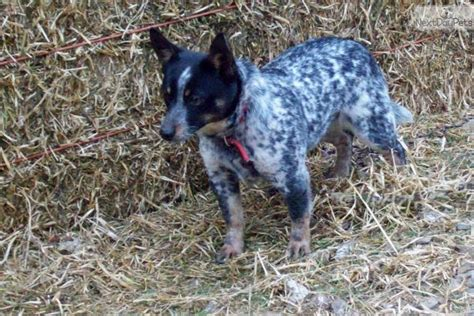 mini blue heeler puppies for sale australian cattle blue heeler puppy for sale near bend oregon d5d00050 e6f1