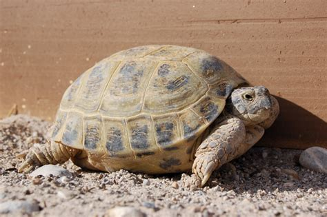 russian tortoises russian tortoise care tips