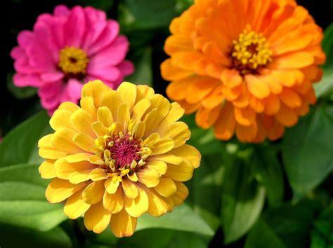zinnia fiore zinnia semer et planter ooreka