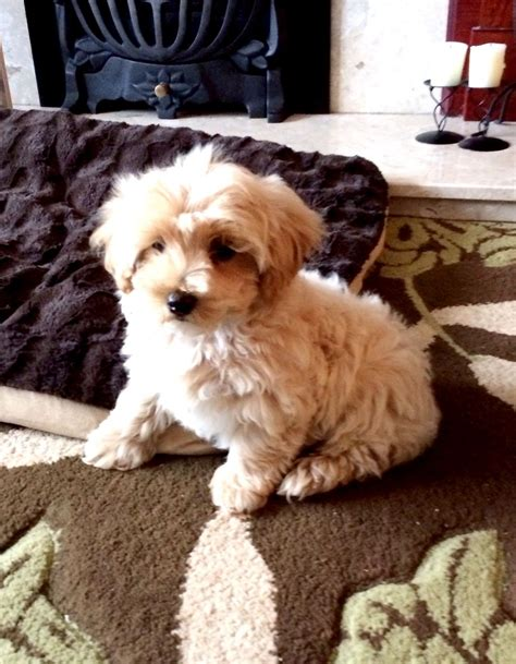 maltipoo puppy for sale maltipoo puppy for sale wigan greater manchester pets4homes