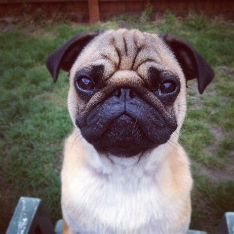 pug says i you 1000 images about pugs4ever on of pug and puppys