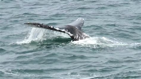 whale watching season in full swing plenty of sightings