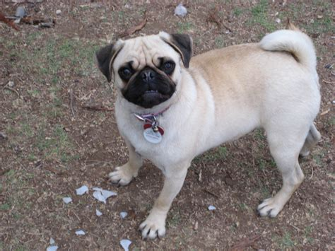traits of pugs pug puppies rescue pictures information temperament characteristics animals