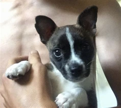 boston terrier chihuahua mix puppies boston huahua breed information and pictures