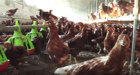 galline allevate in gabbia esselunga quot niente uova da galline allevate in gabbia quot ma