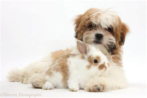 maltese x shih tzu pets maltese x shih tzu pup with rabbit photo wp35279