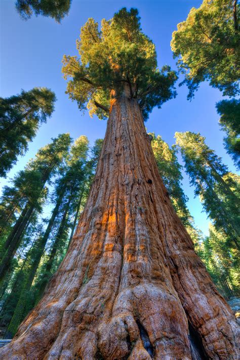 General Sherman Tree Sequoia National Park In California | general sherman tree sequoia national park dan sorensen