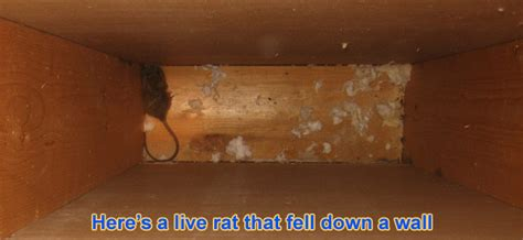 how to get a rat out of your house rats in the wall how to get rats out of your walls