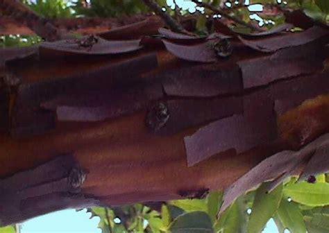 Almost Cluster Brown Glossy Original Ca3912 plantfiles pictures manzanita arctostaphylos manzanita by palmbob