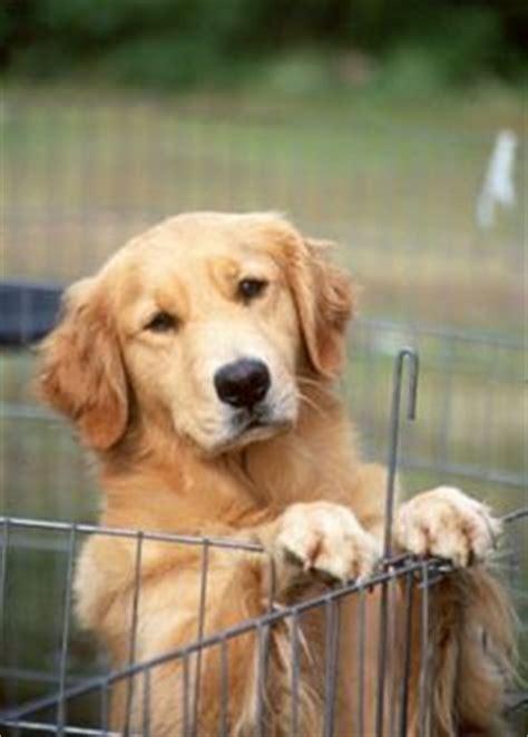 golden retriever rescue spokane golden retriever puppy puppies golden retriever puppies