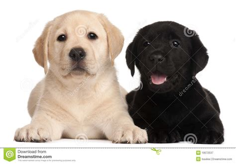 7 week lab puppy two labrador puppies 7 weeks royalty free stock photography image 19572537