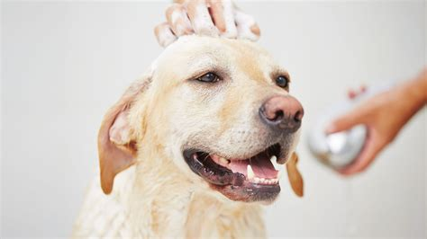 puppy washing mobile grooming arvada co pawsitively clean wash