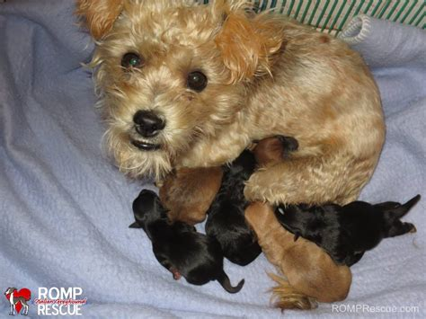 poodle terrier mix puppies poodle terrier mix adoption photo