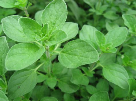 pflanztipps garten majoran pflanzen 187 die wichtigsten pflanztipps auf einen blick
