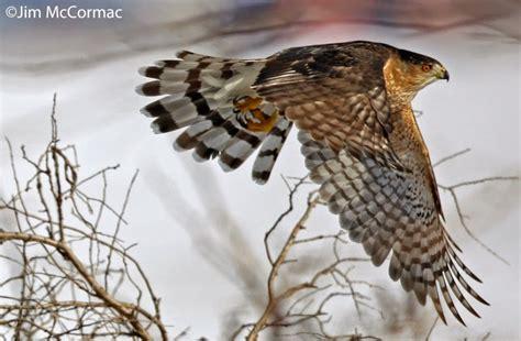 cooper s hawk is songbird assassin