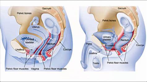 pelvic area diagram pelvic
