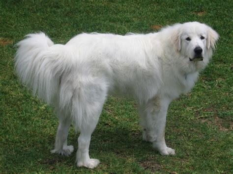 pyrenees dogs great pyrenees breed guide learn about the great pyrenees