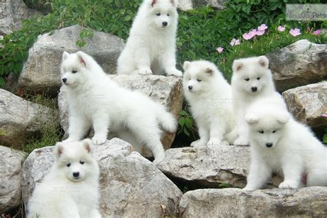 designer puppies for sale near me samoyed puppies for sale near me myideasbedroom