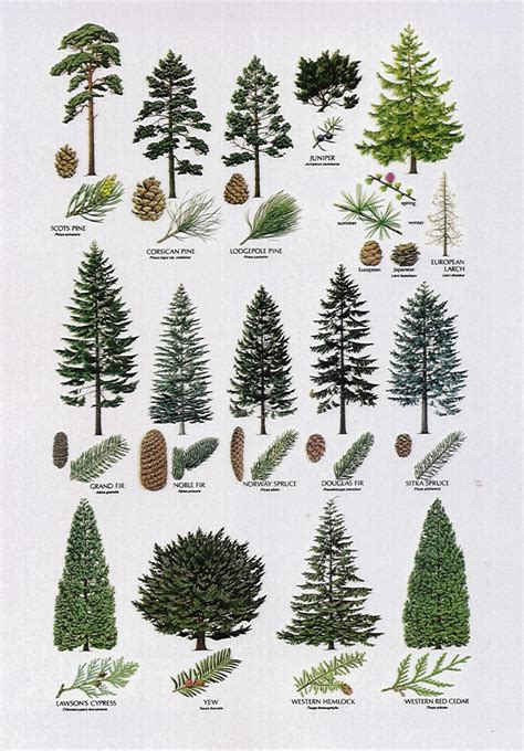different types of trees conifer species video search engine at search com
