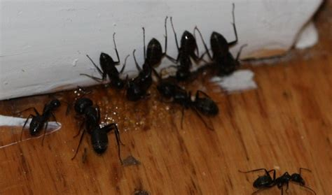 5 tips for getting rid of carpenter ants in house home