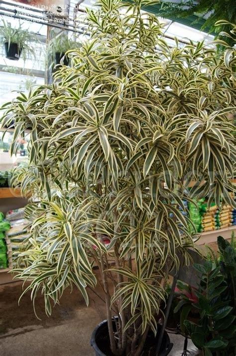 Tanaman Dracaena Florida plantfiles pictures malaysian dracaena small leaved