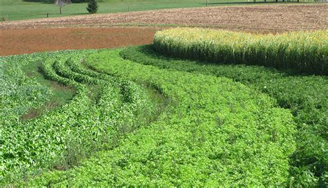 Garden Cover Crop by 5 Cover Crops For Your Health And The Soil Hobby Farms