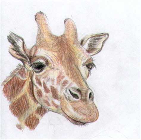 Giraffe Photo Frame Random Color pencil crayon giraffe by myrrhiam on deviantart