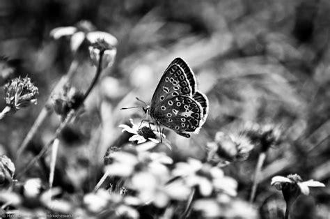 fiori bianco e nero 8 fotografie di una farfalla in bianco e nero sui fiori