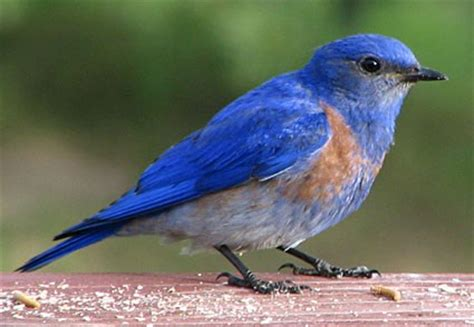 western bluebird identification all about birds