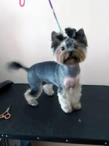 yorkie hair cut chart conhe 231 a os tipos de tosa para yorkshire gera 231 227 o pet