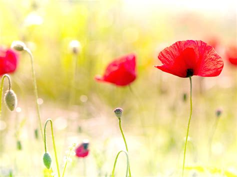 desktop wallpaper of flowers wallpapers poppy flowers desktop wallpapers