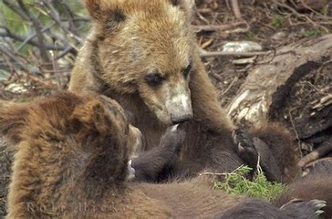 grizzly bear cubs playing people deer and huming birds givnology wellness arts