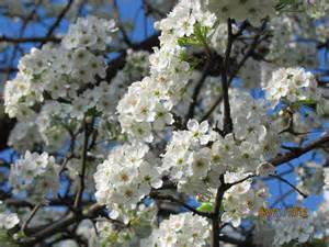 flowering trees out too early this year beautiful