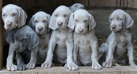 weimaraner puppy weimaraner puppies dogs