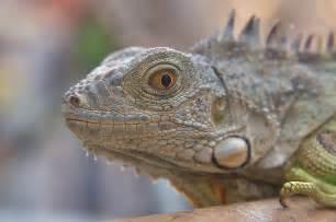 slideshow 832 04 pet iguana for sale in souq waqif doha