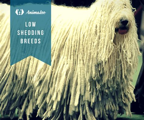 low shedding breeds low shedding breeds list animalso