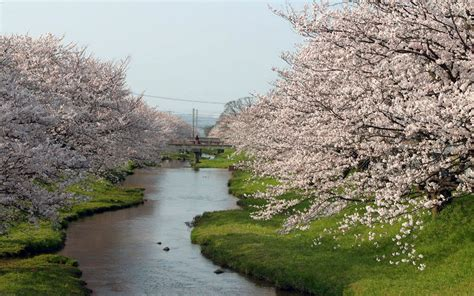 National Geographic Wall Murals japan cherry blossoms flowers spring season rivers