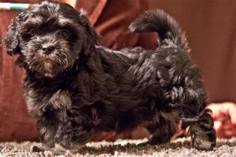 brindle havanese puppies havanese puppy duchess black with gray brindle boots no longer available akc