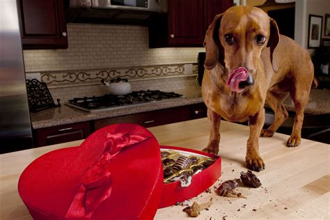 symptoms of chocolate poisoning in dogs signs of chocolate ingestion in dogs thin