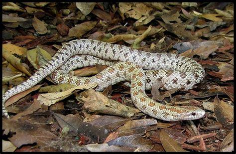 Garden Snake South Florida South Florida Mole King Snake 1 Flickr Photo