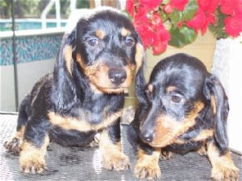 dachshund puppies for sale florida dachshund puppies for sale ocala fl dogs our friends photo