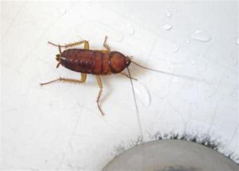 come eliminare scarafaggi in cucina come eliminare gli scarafaggi