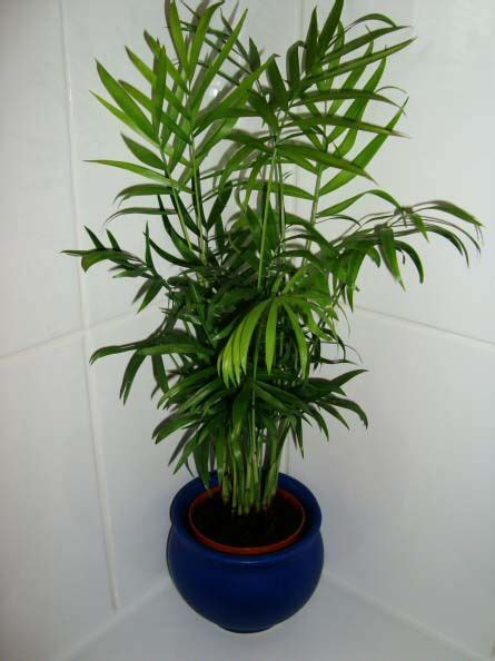 common house plants palms 92 best images about growing house plants on the plant money tree plant care and palms